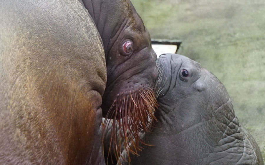Bebê morsa nasce no SeaWorld Orlando