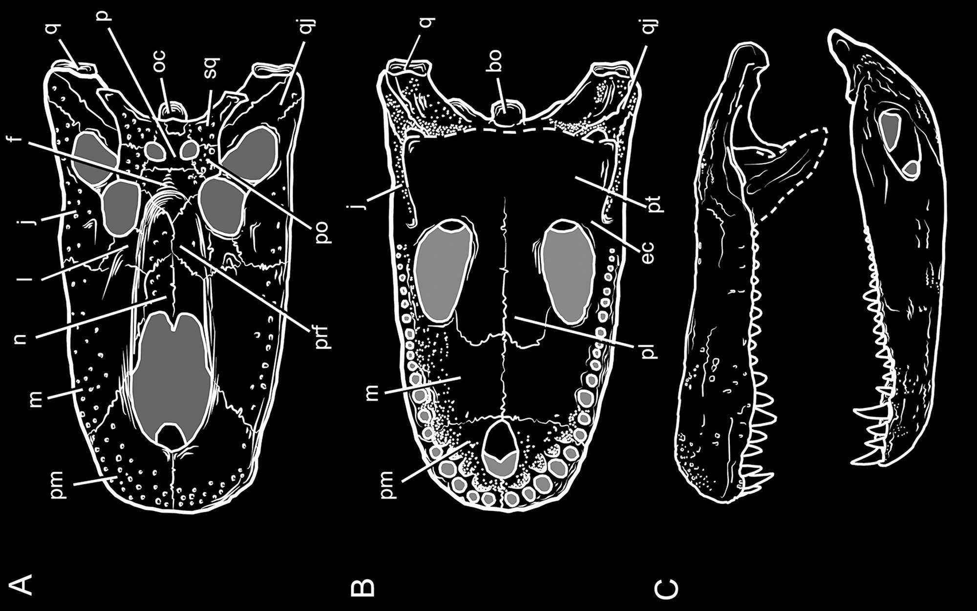 Restauração craniana de P. brasiliensis