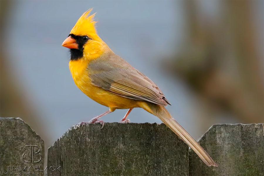 Cardeal amarelo (foto: Jeremy Black)