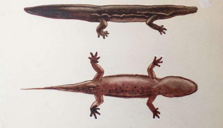 Representação de uma salamandra Andrias sligo (Foto: ZSL)