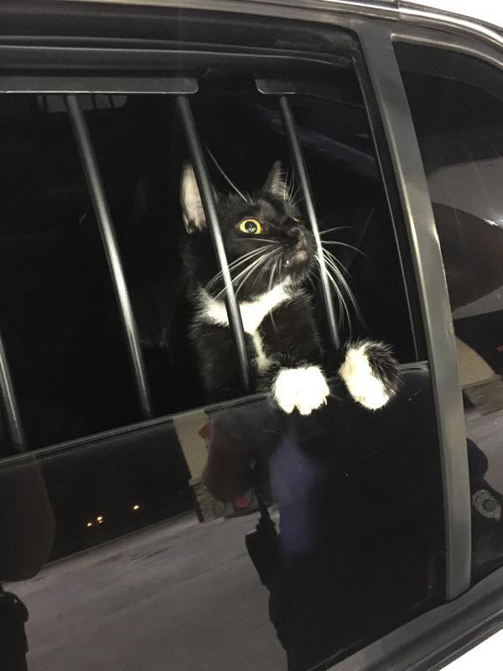 Gato é 'preso' suspeito de furto nos EUA — Foto: Collier County Sheriff's Office/Facebook