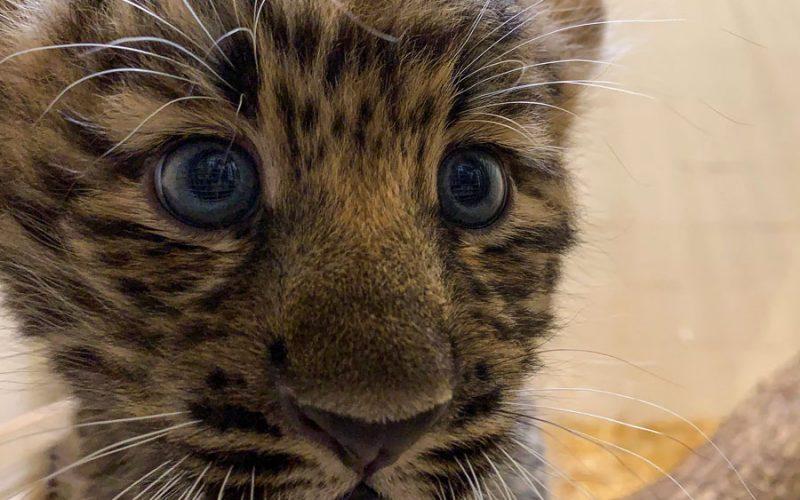 Zoológico em Nova York apresenta filhotes de leopardos raros