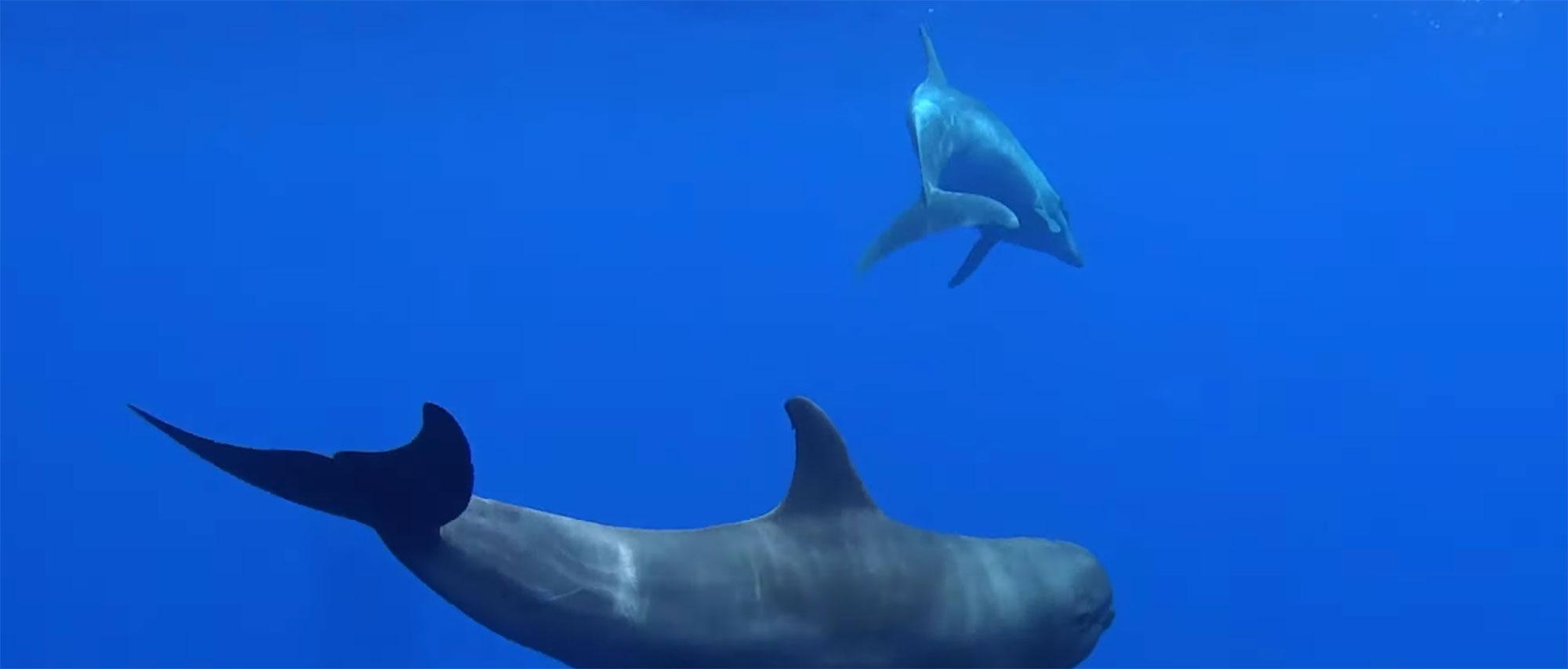 Mãe golfinho adota um filho de uma espécie diferente