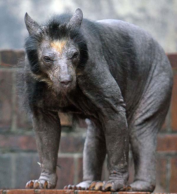 Ursos de óculos em um zoológico na Alemanha