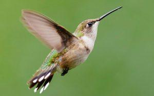 Que pássaros podem voar para trás?