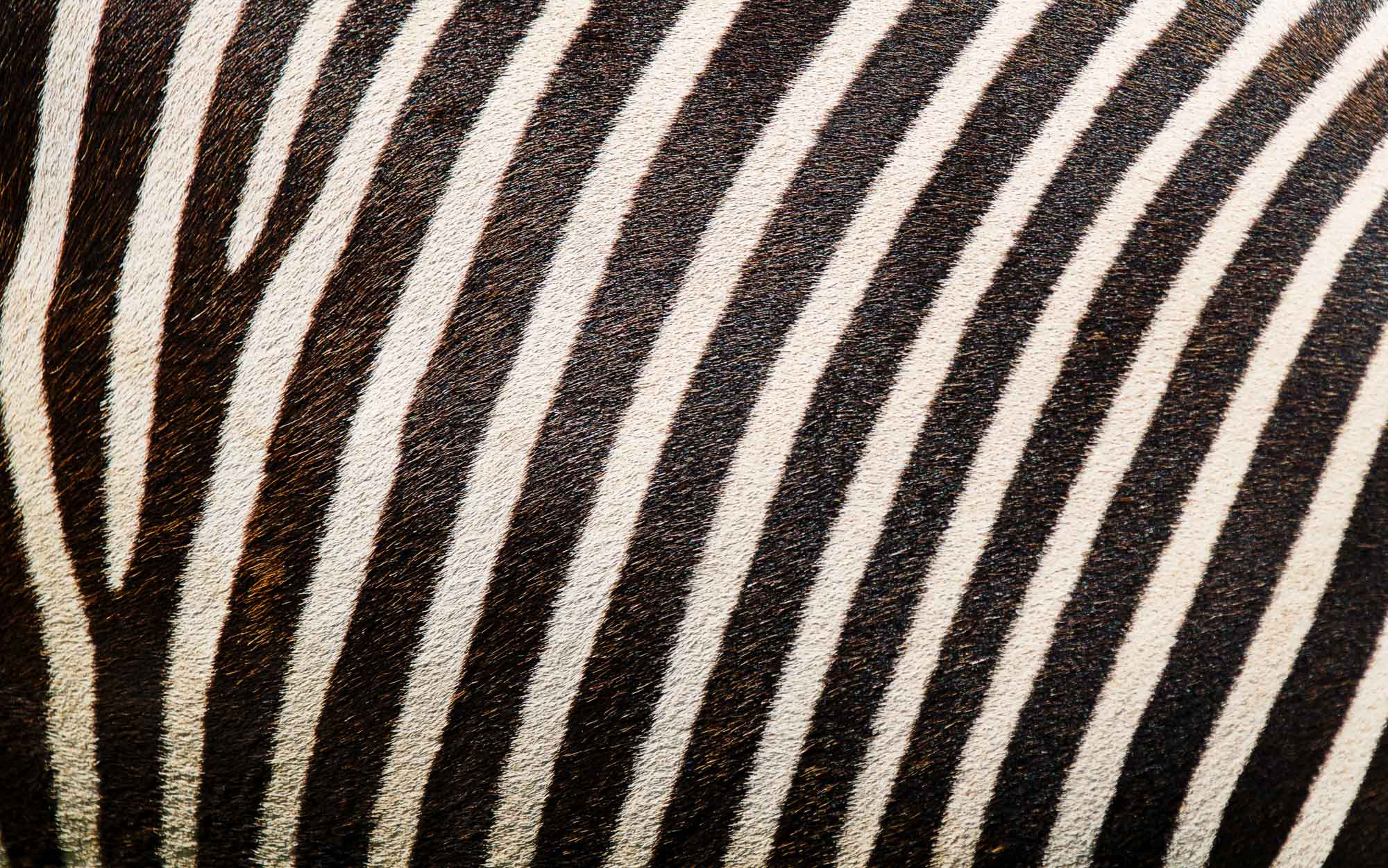 Camuflagem da zebra