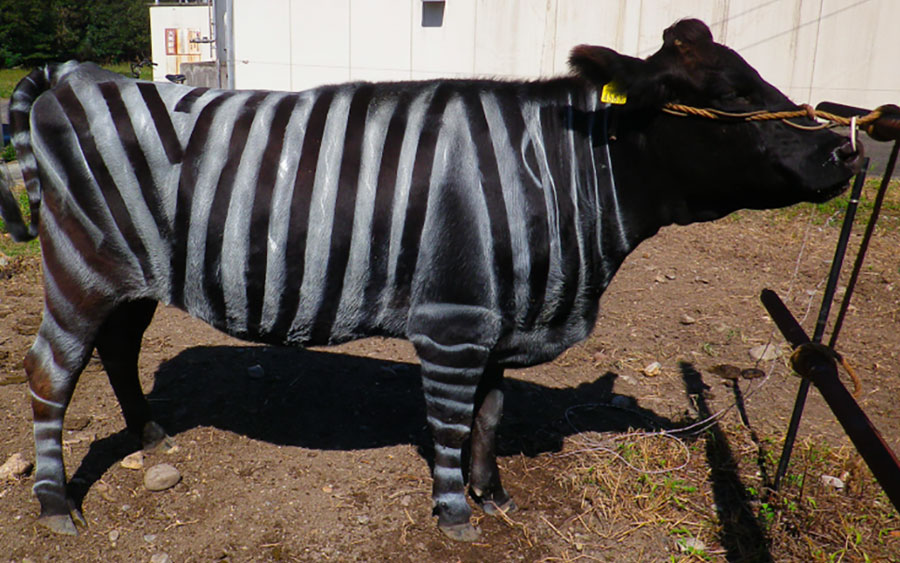 Entenda porque cientistas estão pintando vacas como se fossem zebras