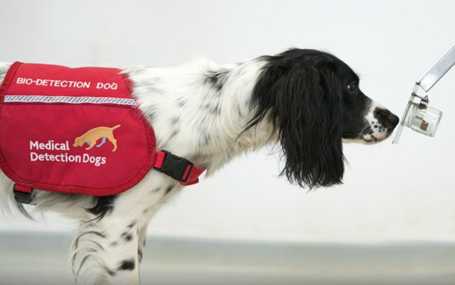 Cães estão sendo usados para farejar a malária