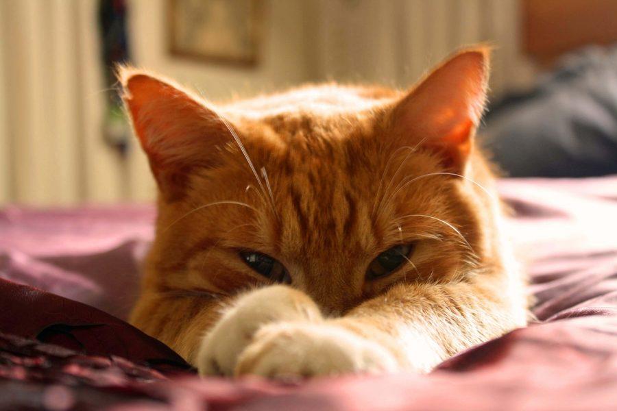 Quando um gato persegue uma presa, ao contrário de um cão ou humano, mantém a cabeça sempre para baixo.