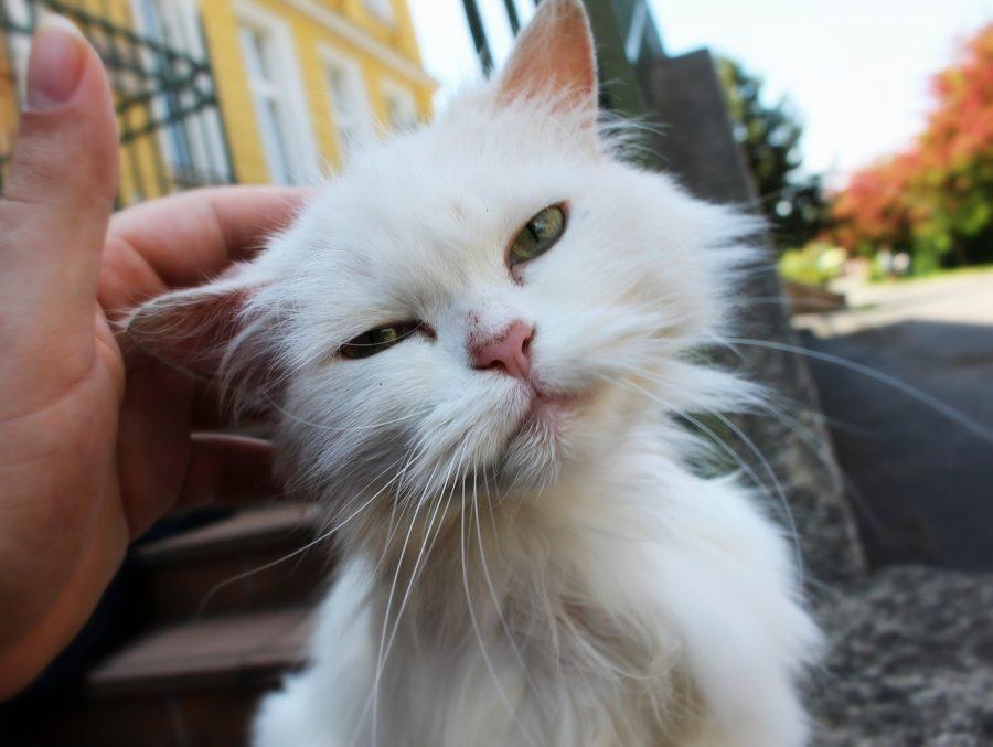 As gatas tendem a ser destras, enquanto os gatos tendem a ser maioritariamente canhotos.