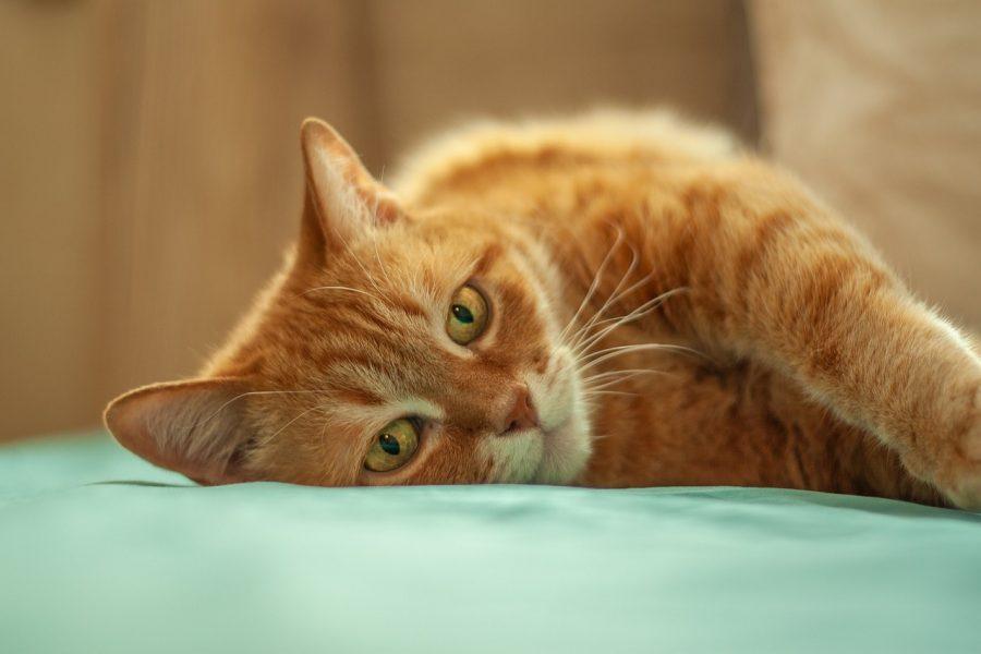 A audição de um gato é melhor do que a de um cão. Um gato consegue ouvir sons de alta frequência, cerca de 2 oitavas acima de qualquer humano.