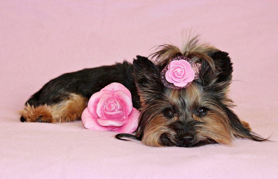 Em casos de cães com pelo curto, não é necessária uma escovação completa