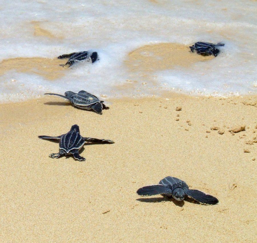 As tartarugas-de-couro não tem o aro de osso em volta do contorno da carapaça