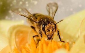 Como você pode ajudar a salvar as abelhas