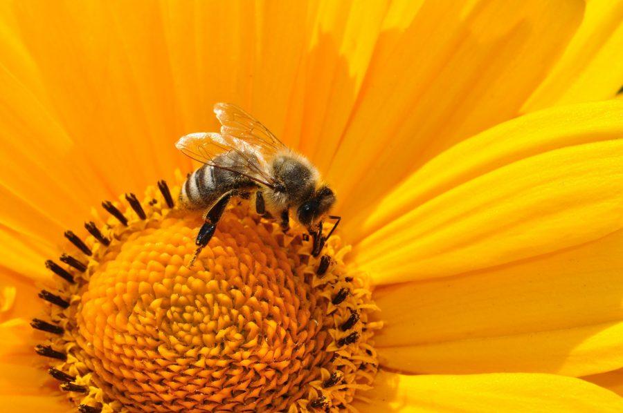 Onde estão as abelhas saudáveis e prósperas?