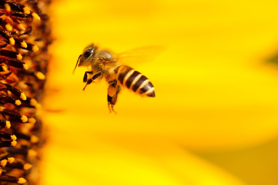 Uma colmeia abriga cerca de 50 mil abelhas. Tem uma rainha, alguns zangões e milhares de operárias