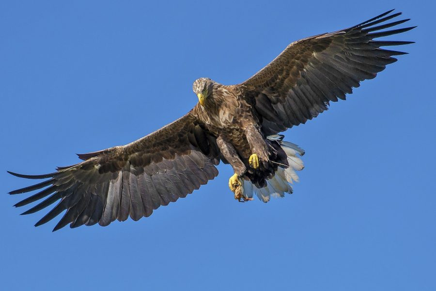 As garras em forma de agulha de uma águia podem perfurar o crânio de sua presa