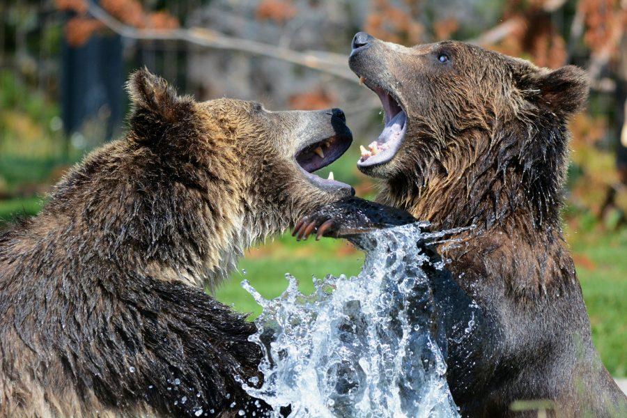 Os ursos as utilizam para cavar e também como defesa.