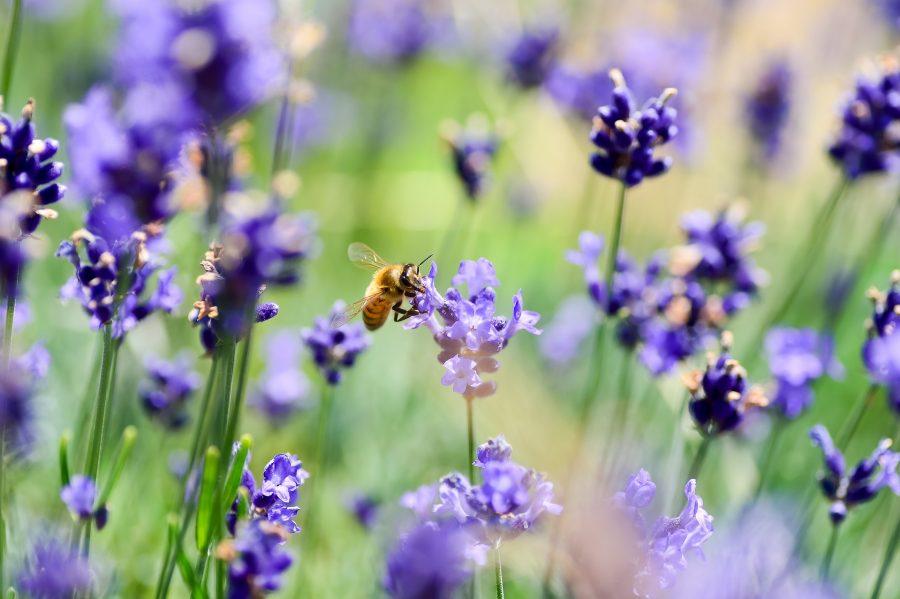 Uma abelha campeira visita 10 flores por minuto em busca do pólen e do néctar