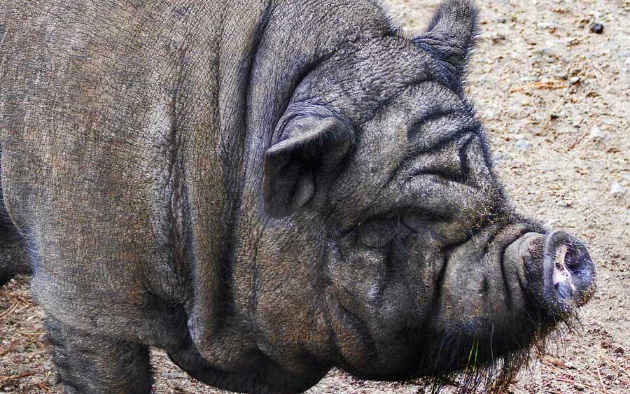 Em uma feira rural em Maryland em 2017, os agricultores relataram porcos febris com olhos inflamados e focinhos congestionados. Enquanto os fazendeiros se preocupavam com os porcos, o departamento de saúde estava preocupado com um grupo de pessoas que passaram pela feira. Logo, 40 desses visitantes seriam diagnosticados com a gripe suína. Como os patógenos de uma espécie podem infectar outra, e o que torna esse salto tão perigoso? Ben Longdon explica