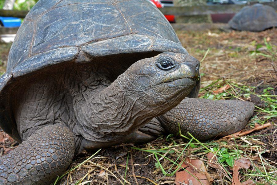 As tartarugas que vivem na terra tem cascos abaulados que facilmente escorregam da boca dos predadores
