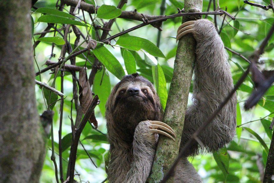 Folivora é uma subordem de mamíferos, da ordem Pilosa, cujas espécies são conhecidas popularmente por preguiça, bicho-preguiça, aí, aígue e cabeluda.