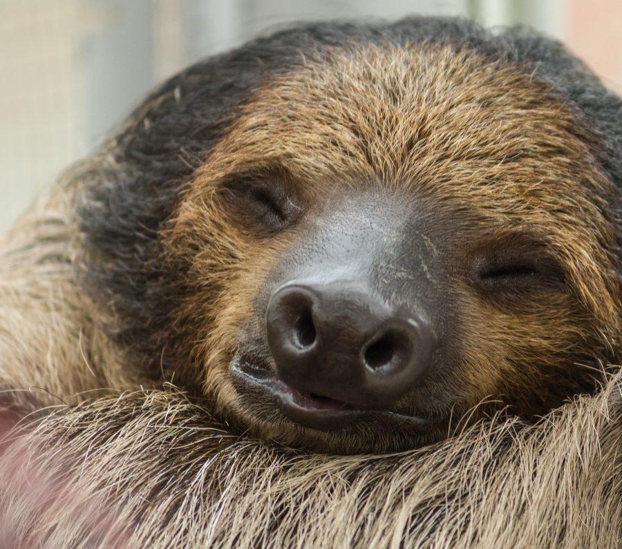 Preguiças fazem parte deste planeta há mais de 40 milhões de anos
