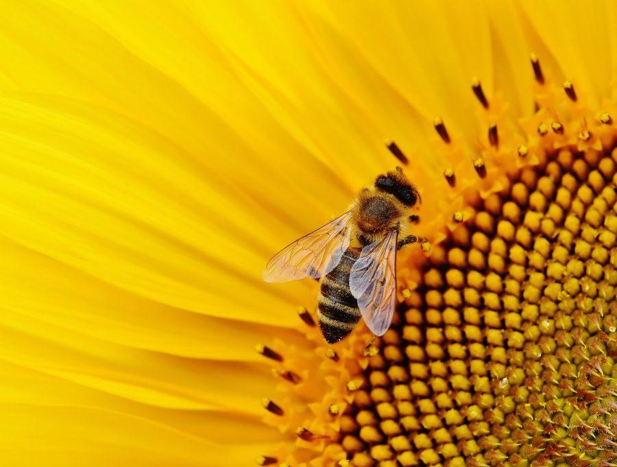A abelha rainha vive até dois anos, enquanto as operárias não duram mais que um mês e meio