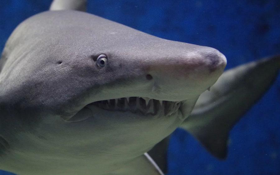 Tubarões são uma parte valiosa e fundamental dos ecossistemas oceânicos