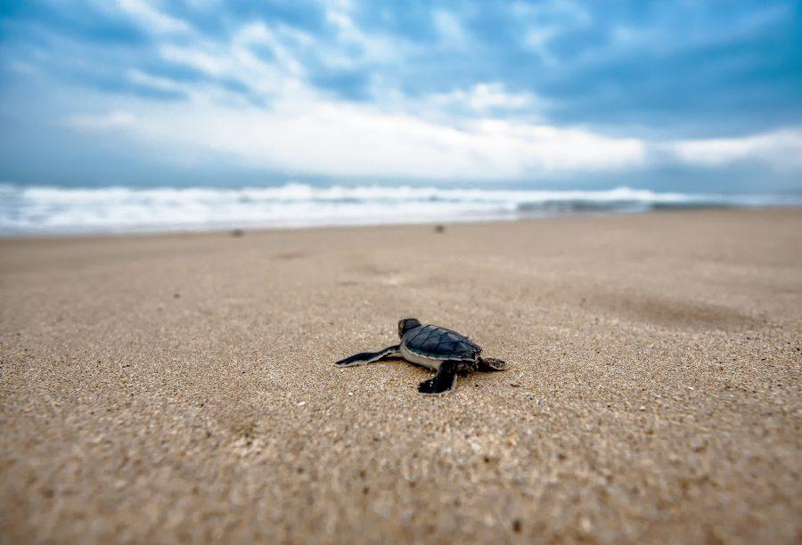 As tartarugas marinhas tem cascos mais achatados e leves para nadarem melhor