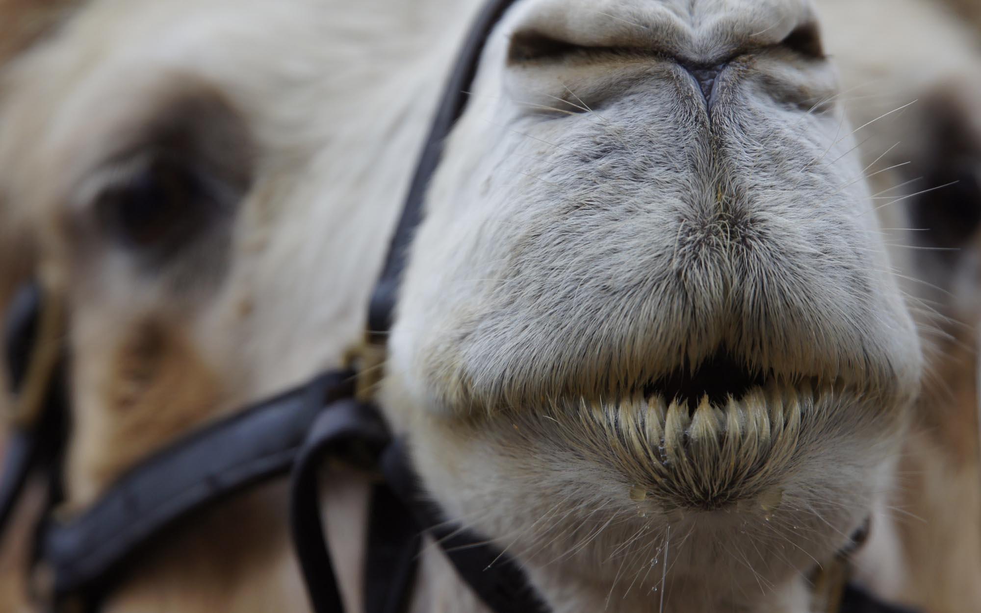 De helicóptero, franco-atiradores vão matar 10 mil camelos na Austrália