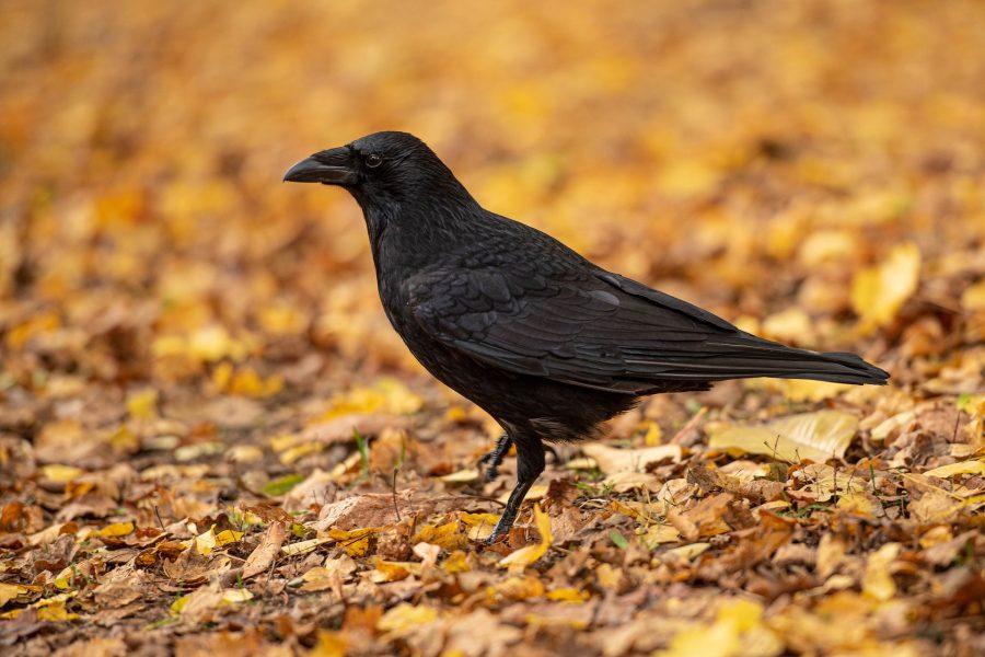 Os corvos usam linguagem corporal