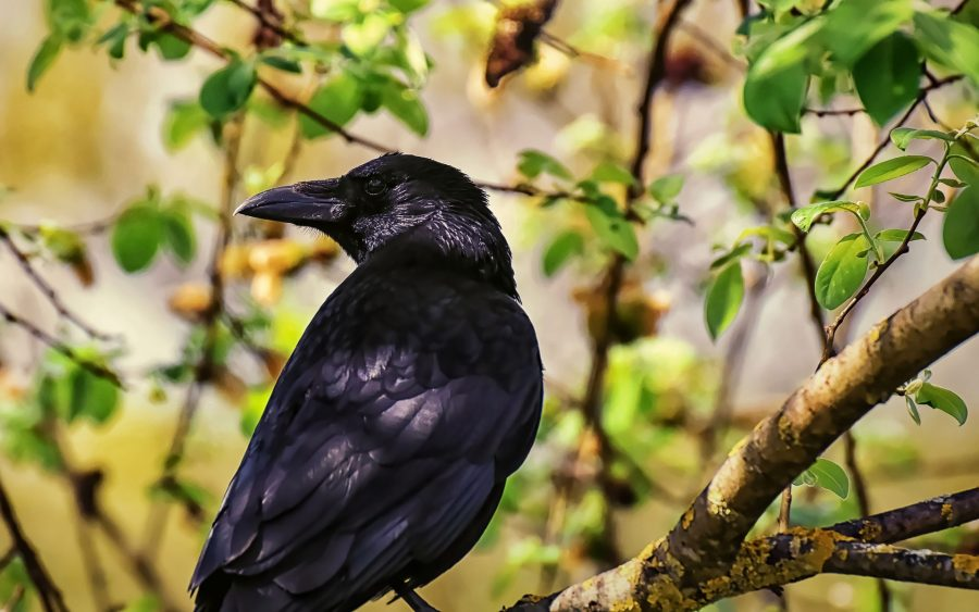 Os corvos se adaptam facilmente