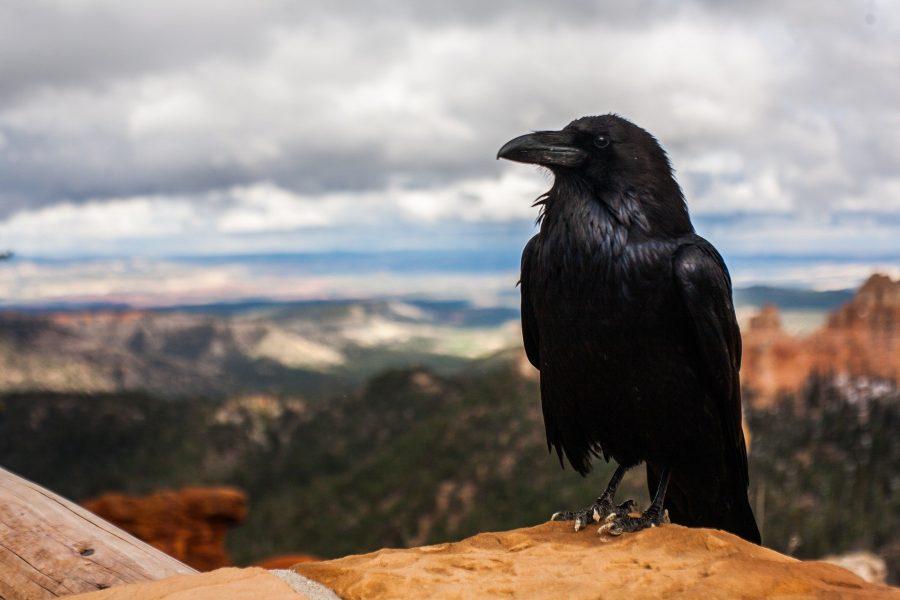 Os corvos fazem parte de muitos mitos