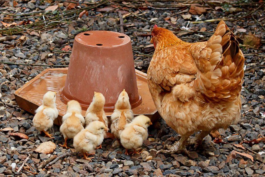 Os ovos são uma boa refeição para crianças desnutridas, por ser ricos em proteínas