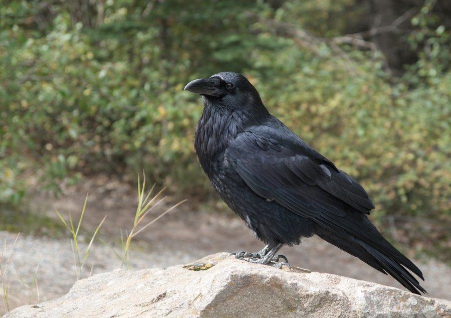 Os corvos são inteligentes