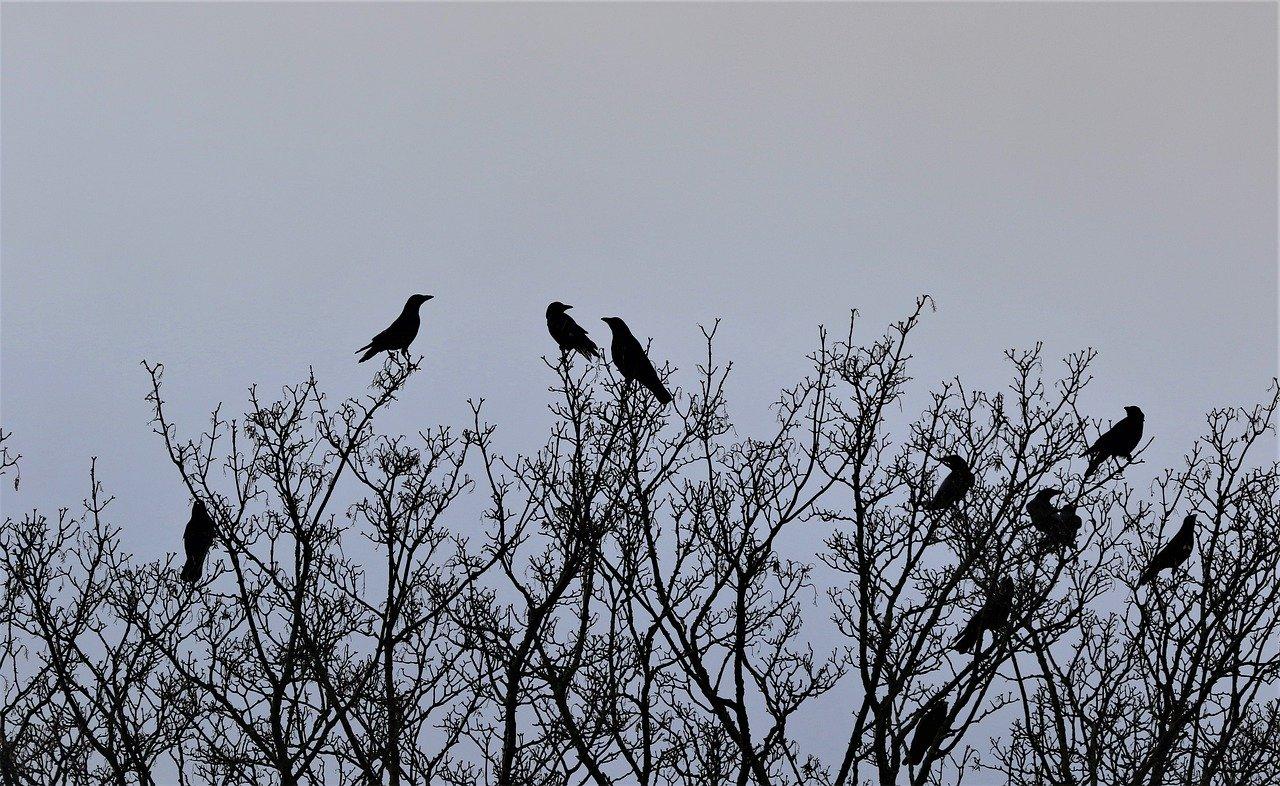 Os corvos são extremamente brincalhões