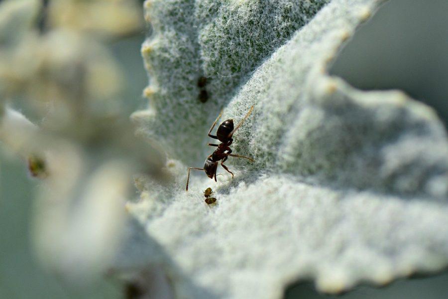 As formigas são tão antigas quanto os dinossauros
