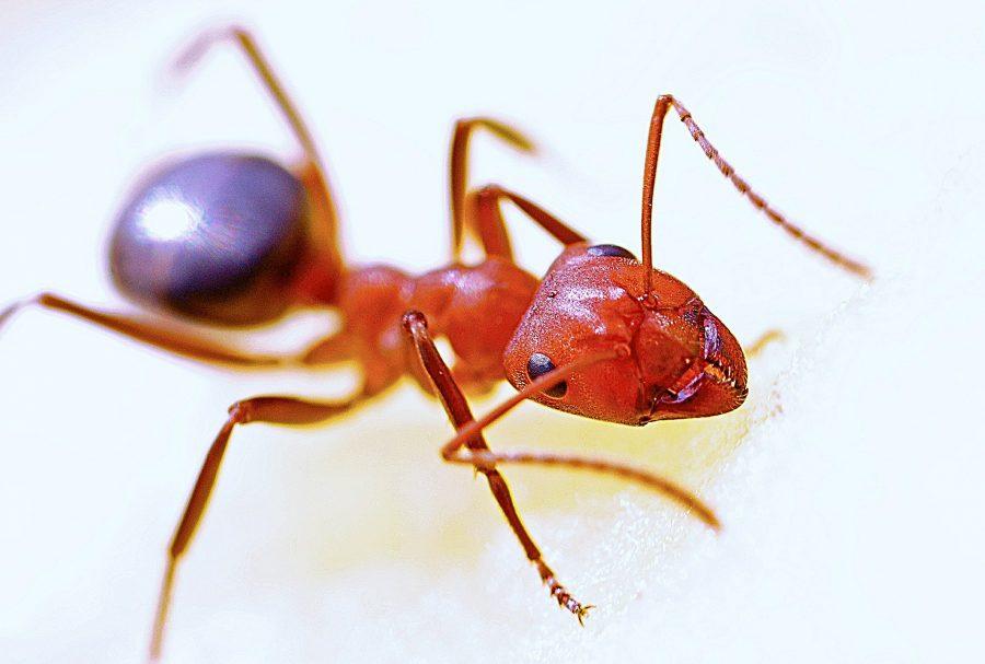 As formigas têm dois estômagos