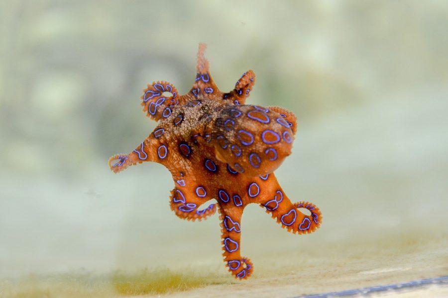 Polvo, lula e choco, coletivamente conhecidos como cefalópodes, têm cérebros estranhos, imensos e distribuídos