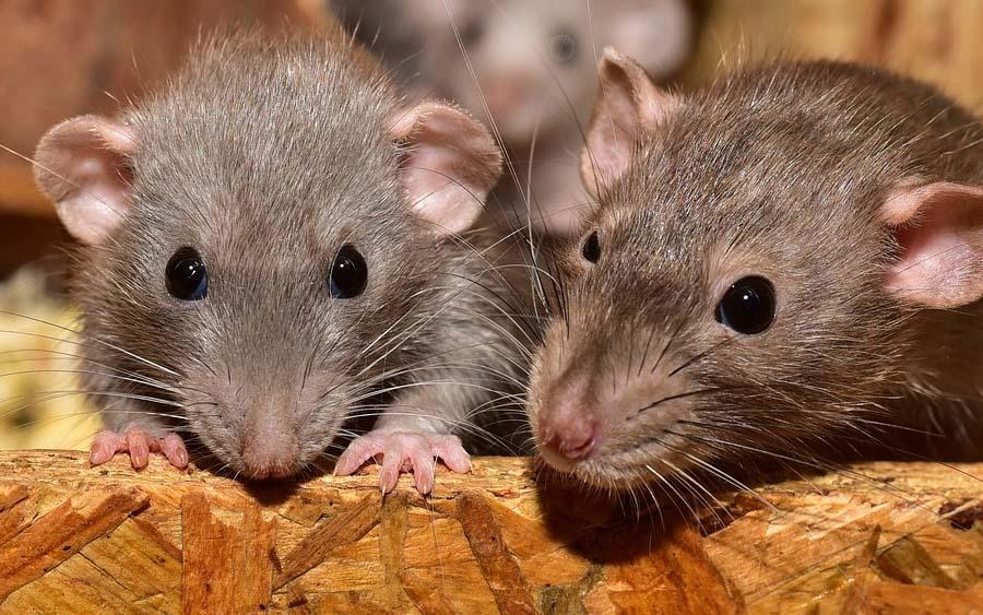 China: Ratos estão infectando humanos com hepatite e ninguém sabe como