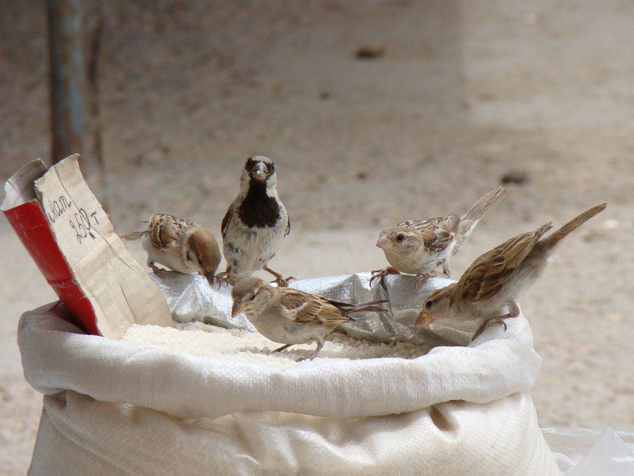 Um grupo misto de pardais do gênero Passer contendo um P. montanus, um P. domesticus macho uma fêmea de P. hispaniolensis, se alimentando de grãos (foto: Yuriy75 / Wikimedia)