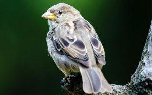 A história dos pardais no Brasil