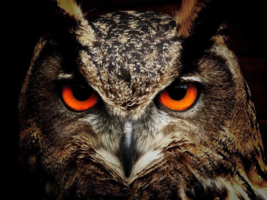 Os predadores mais comuns que chegam a caçar os pardais são: Corujas e falcões.