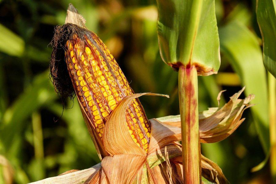 Existem alguns tipos de combinação entre essas sementes que possuem algumas características mais produtivas do que as outras