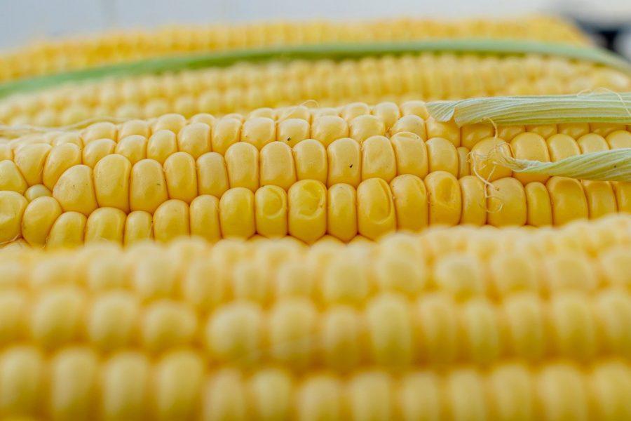 Os grãos do milho podem ter a sua reprodução completamente modificável, ou seja, algumas dessas variações podem trazer mais produtividade.