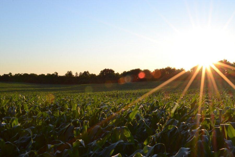 O milho tem uma grande produção em diversos países