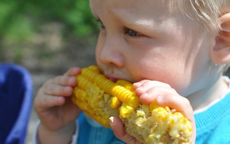O milho, um conhecido cereal cultivado em grande parte do mundo, é extensivamente utilizado como alimento humano ou para ração animal devido às suas qualidades nutricionais.