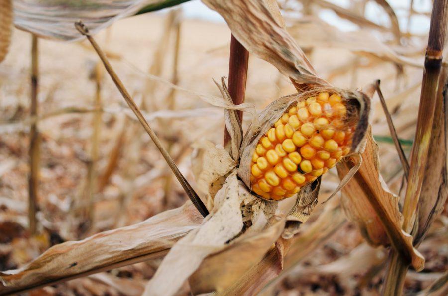 Antigamente, era recomendado híbridos superprecoces, porém tudo vai depender do seu planejamento de ciclo agrícola e da região em que a semente será cultivada