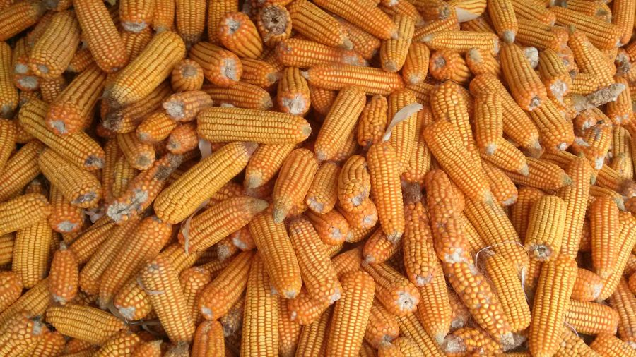 """O milho safrinha tem esse nome porque ele tem sua definição em """"sequeiro"""", ou seja, ele acaba sendo cultivado após o período de safra"""